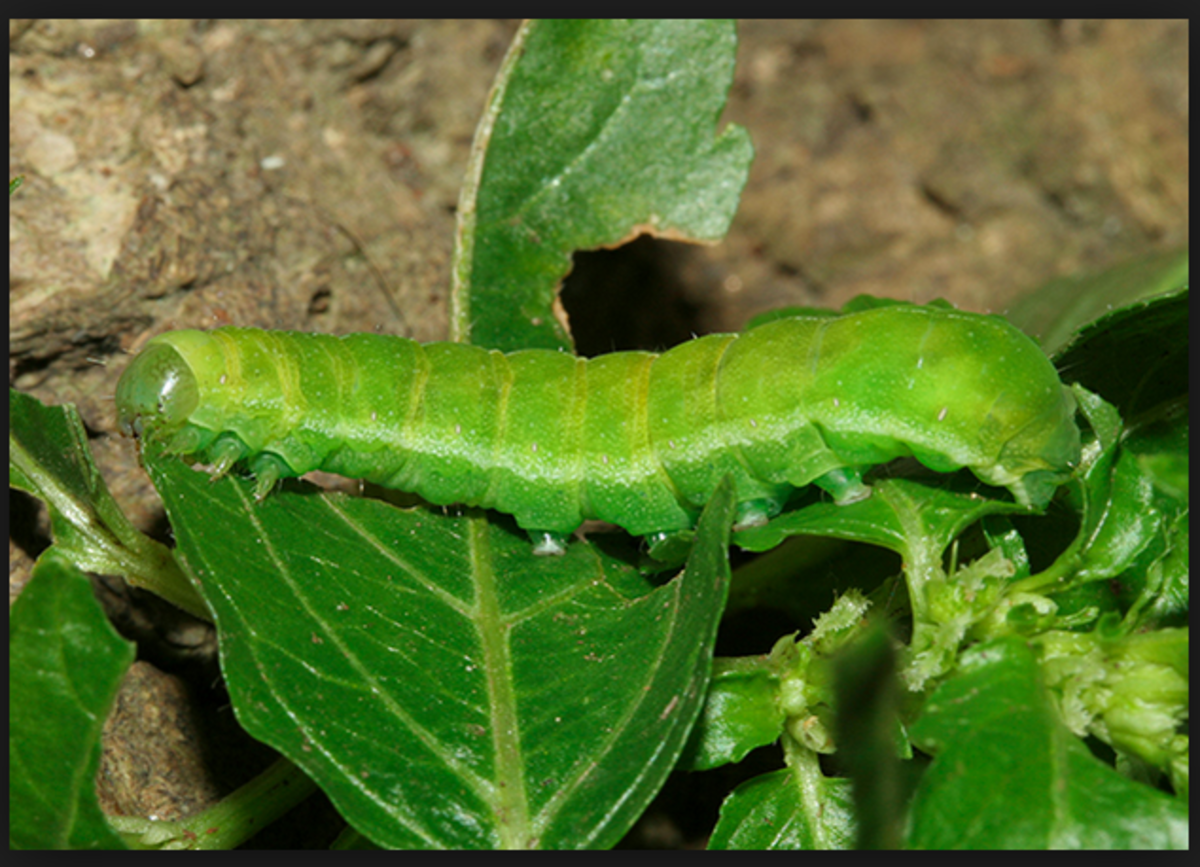 An angle shades caterpillar.
