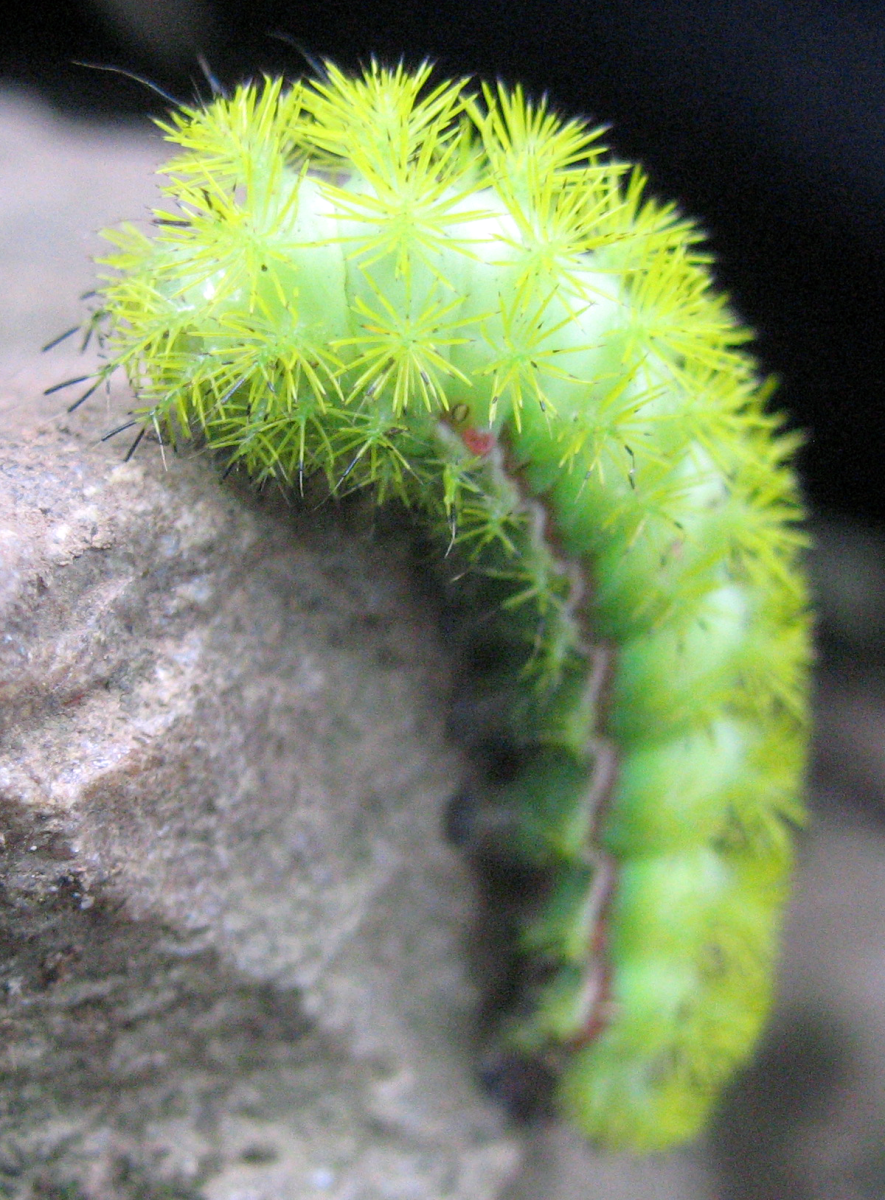 An io moth (Automeris io) caterpillar. These caterpillars are known for their painful sting. Picture taken in Shenandoah National Park, Virginia.