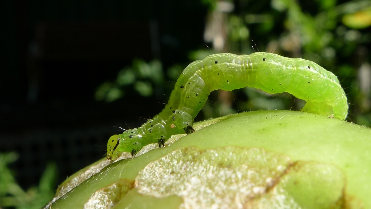 A cabbage looper caterpillar on a tomato.