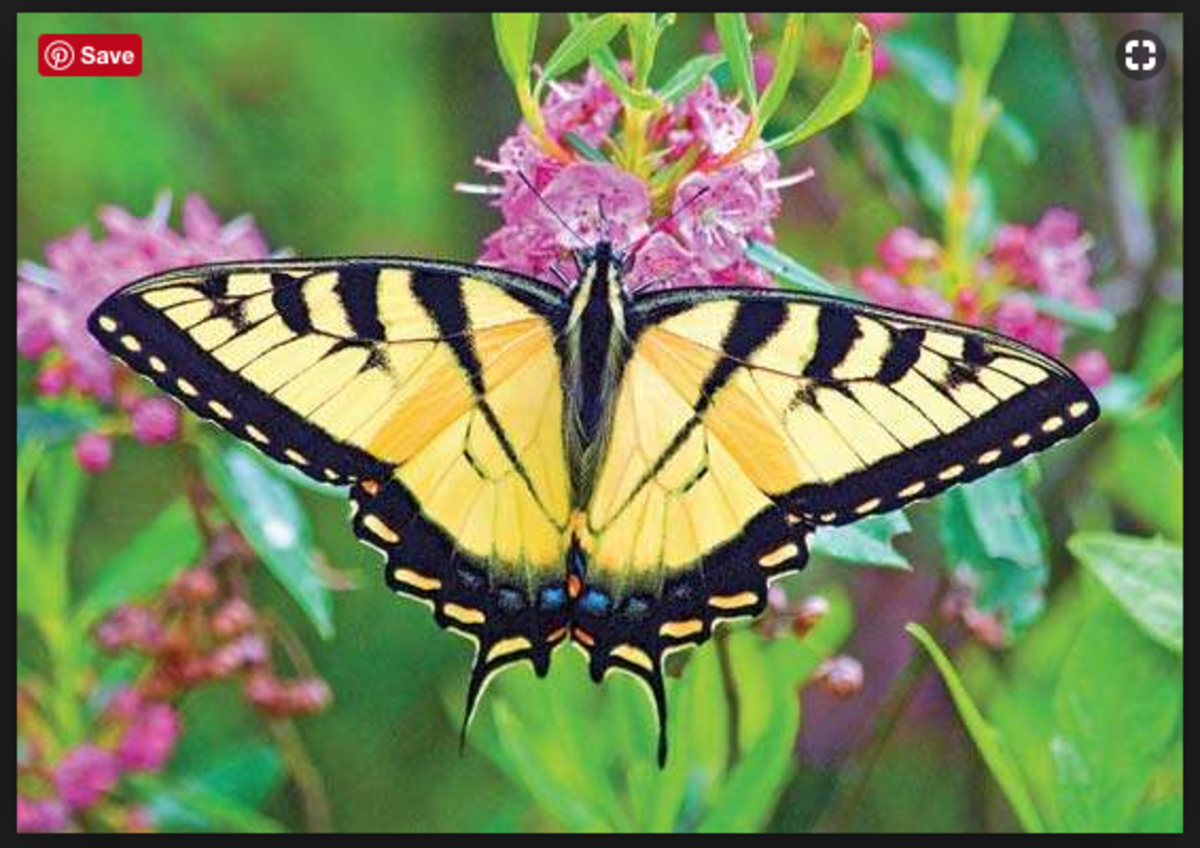A tiger swallowtail butterfly.