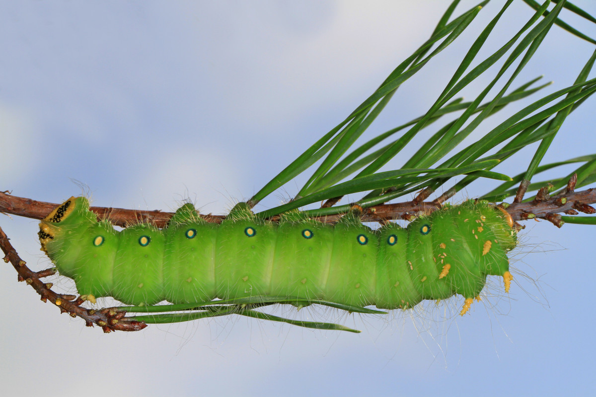 An imperial moth caterpillar.