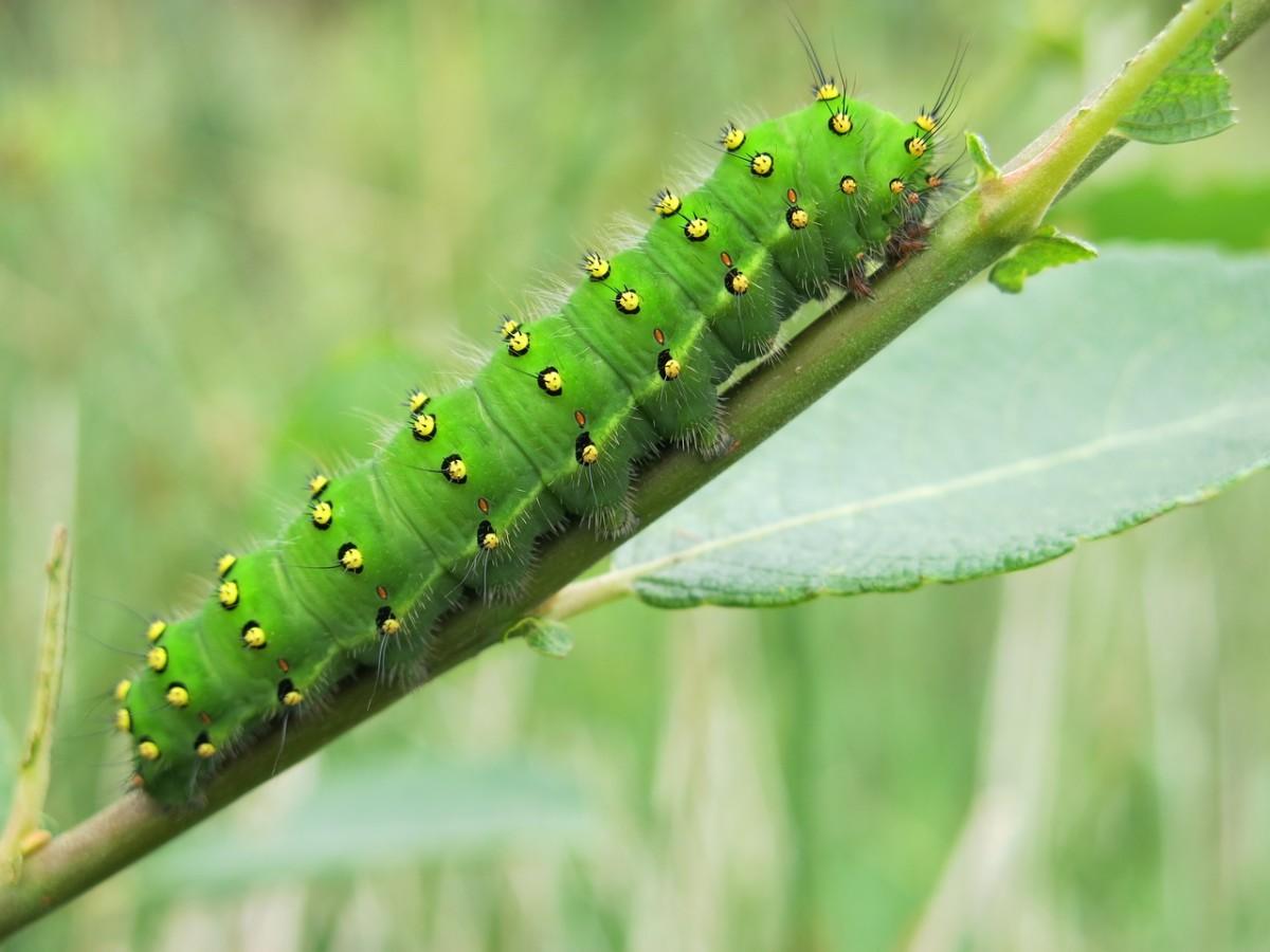 An emperor moth caterpillar.