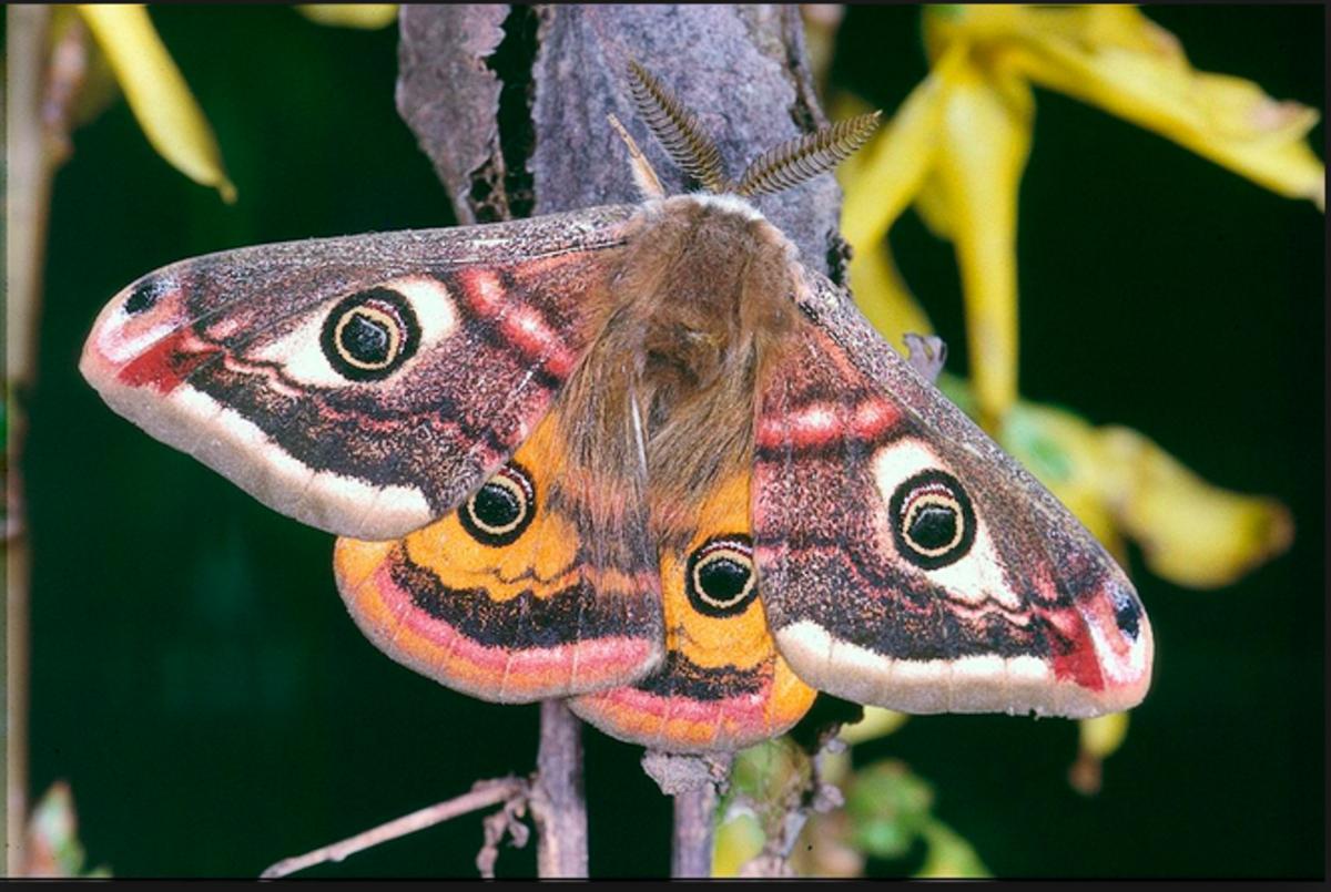 An emperor moth.