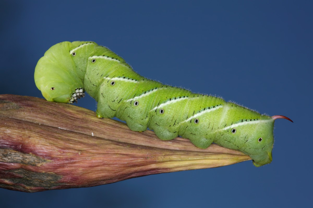 A rustic sphinx moth caterpillar.