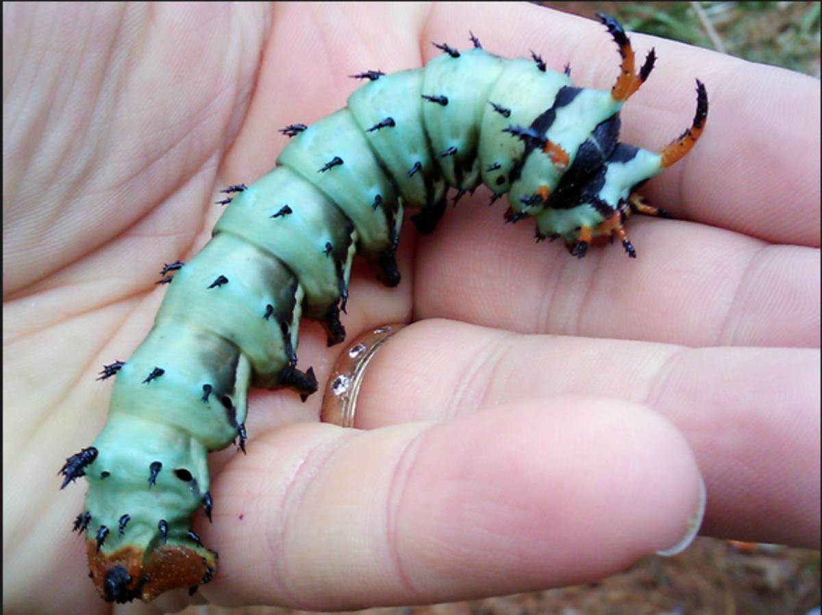 A hickory horned devil caterpillar.