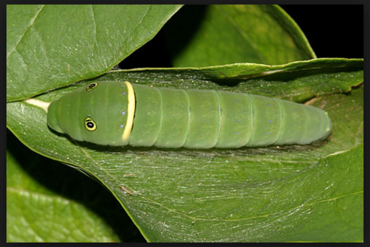 A tiger swallowtail caterpillar.