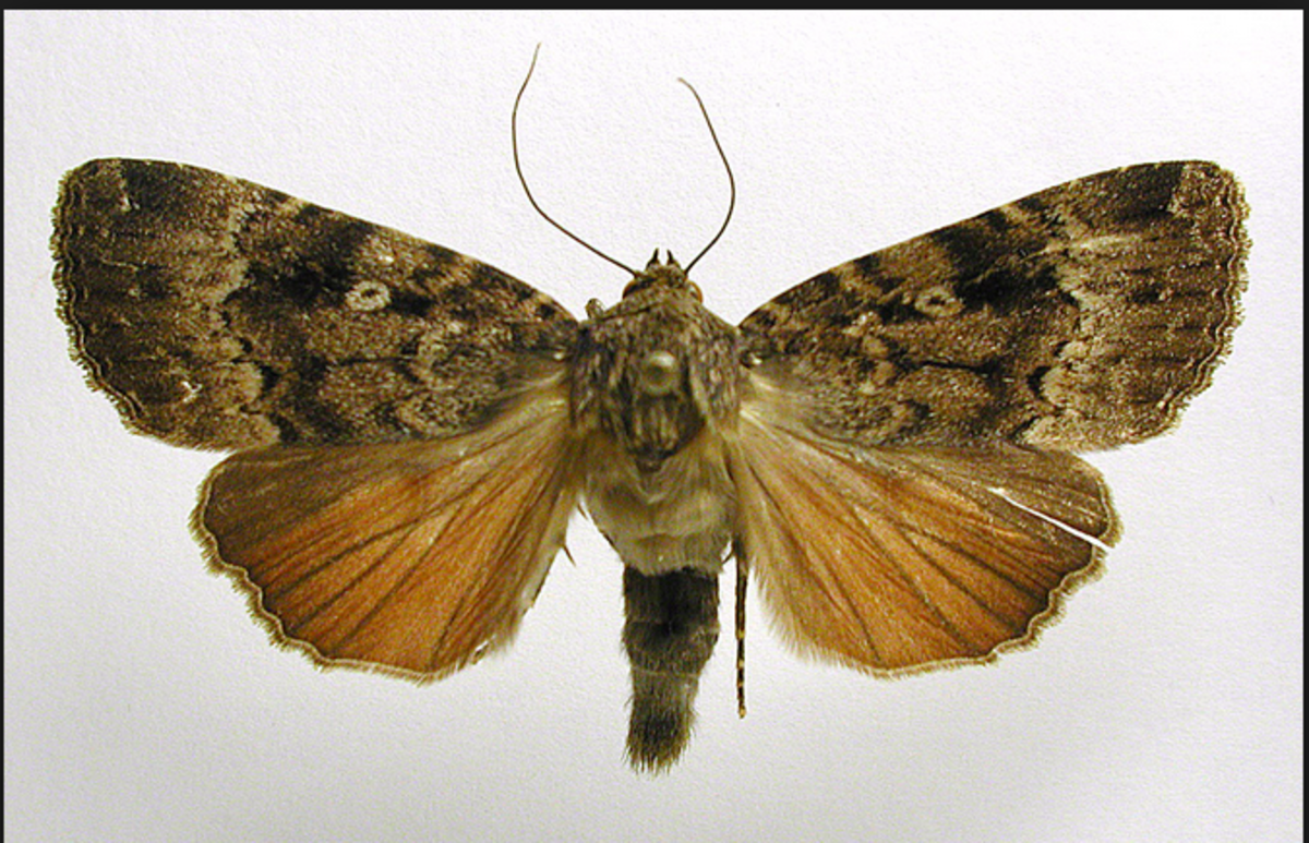 A copper underwing moth.
