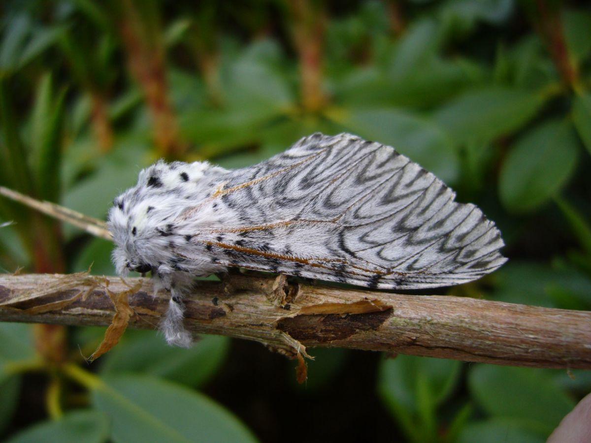 A puss moth.