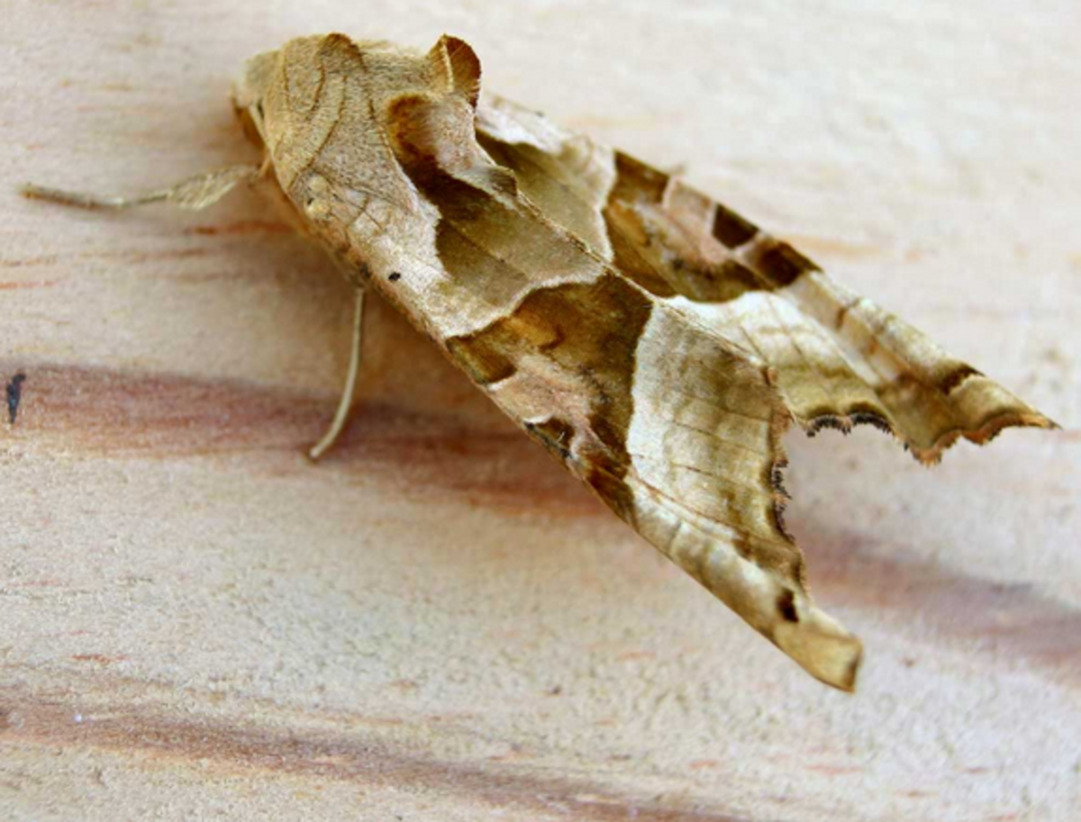 An angle shades moth.