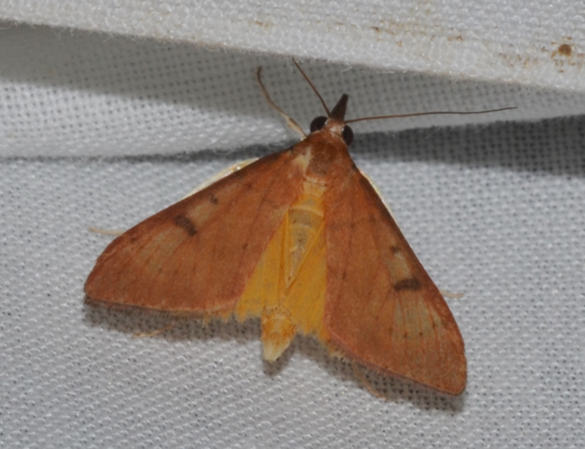A genista broom moth.