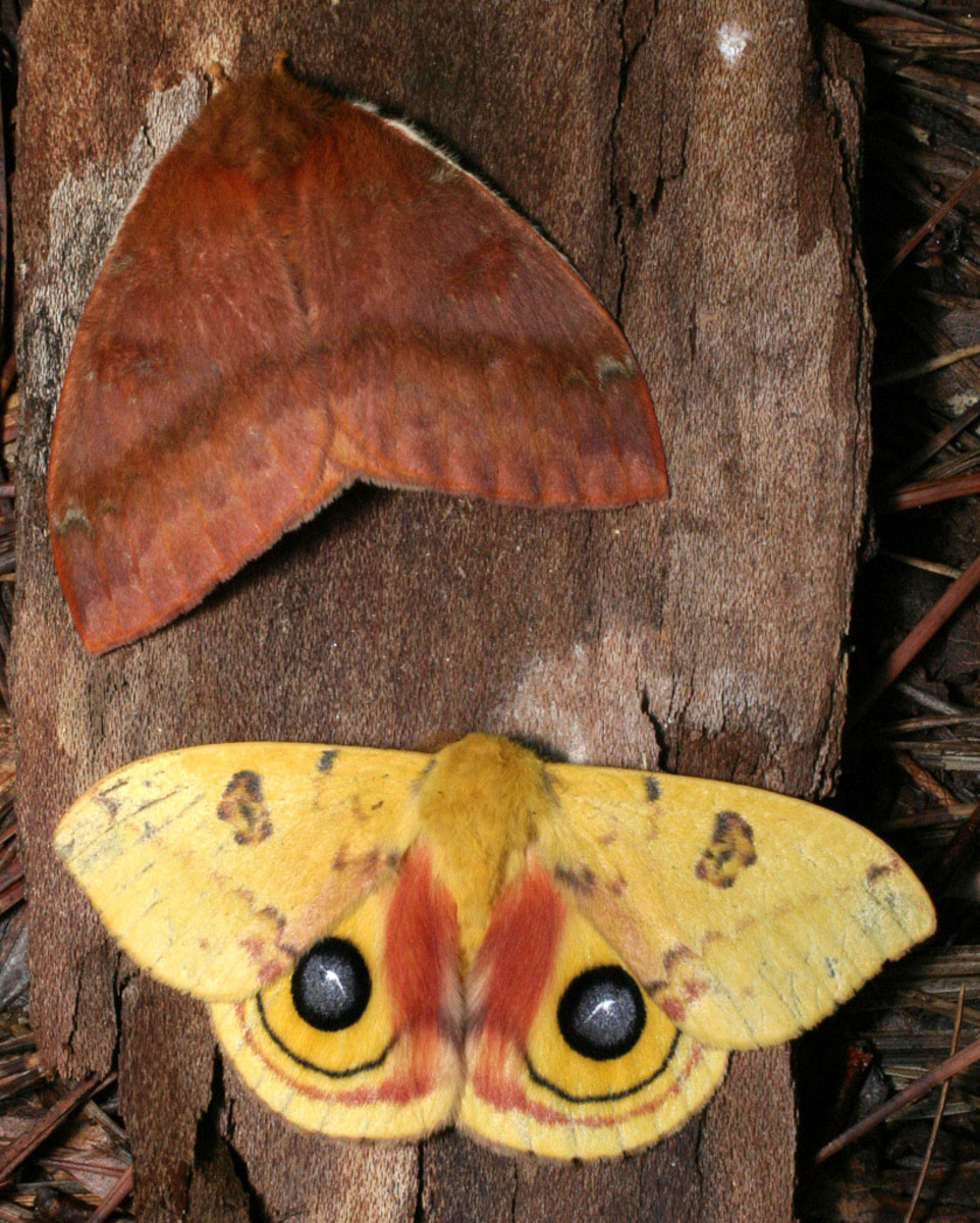 The io moth (male above, female below).