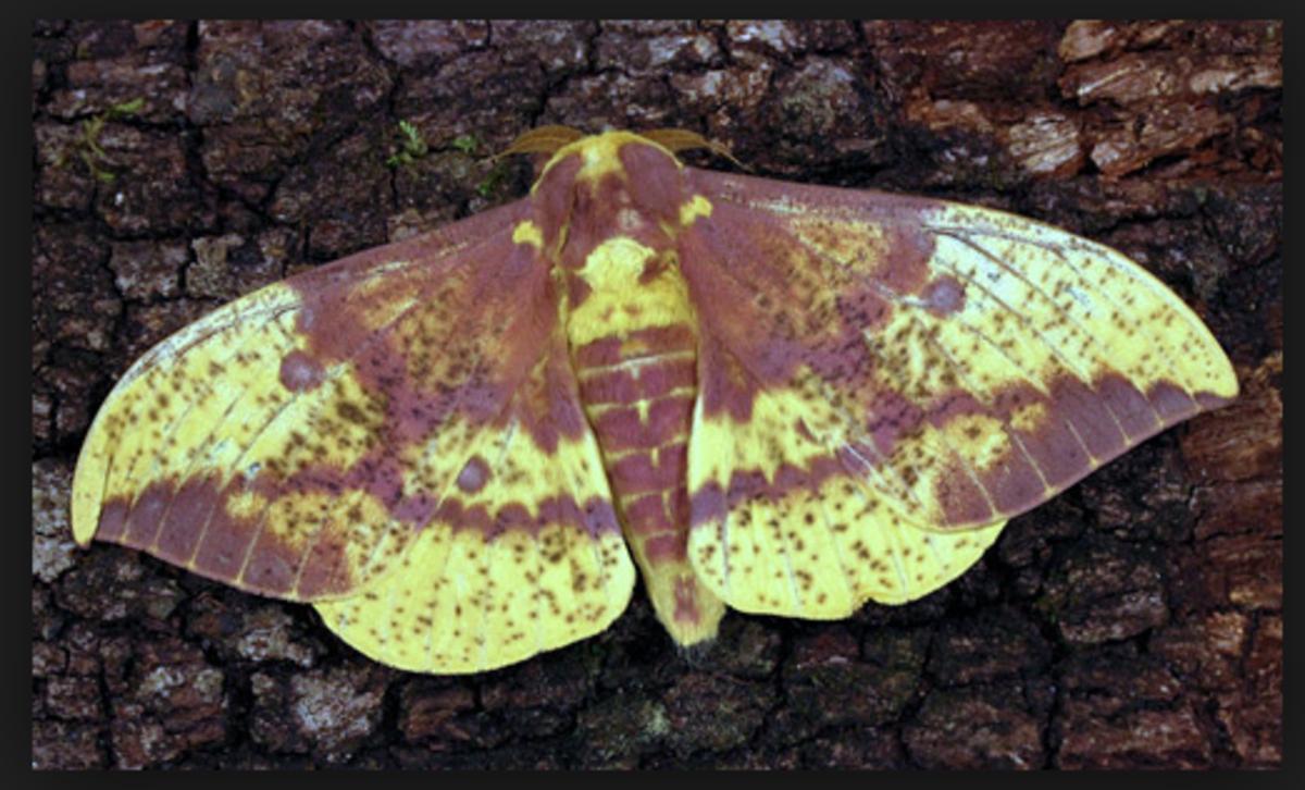An imperial moth.