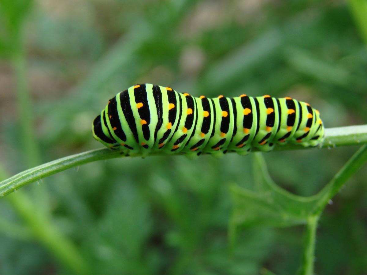 A black swallowtail caterpillar.