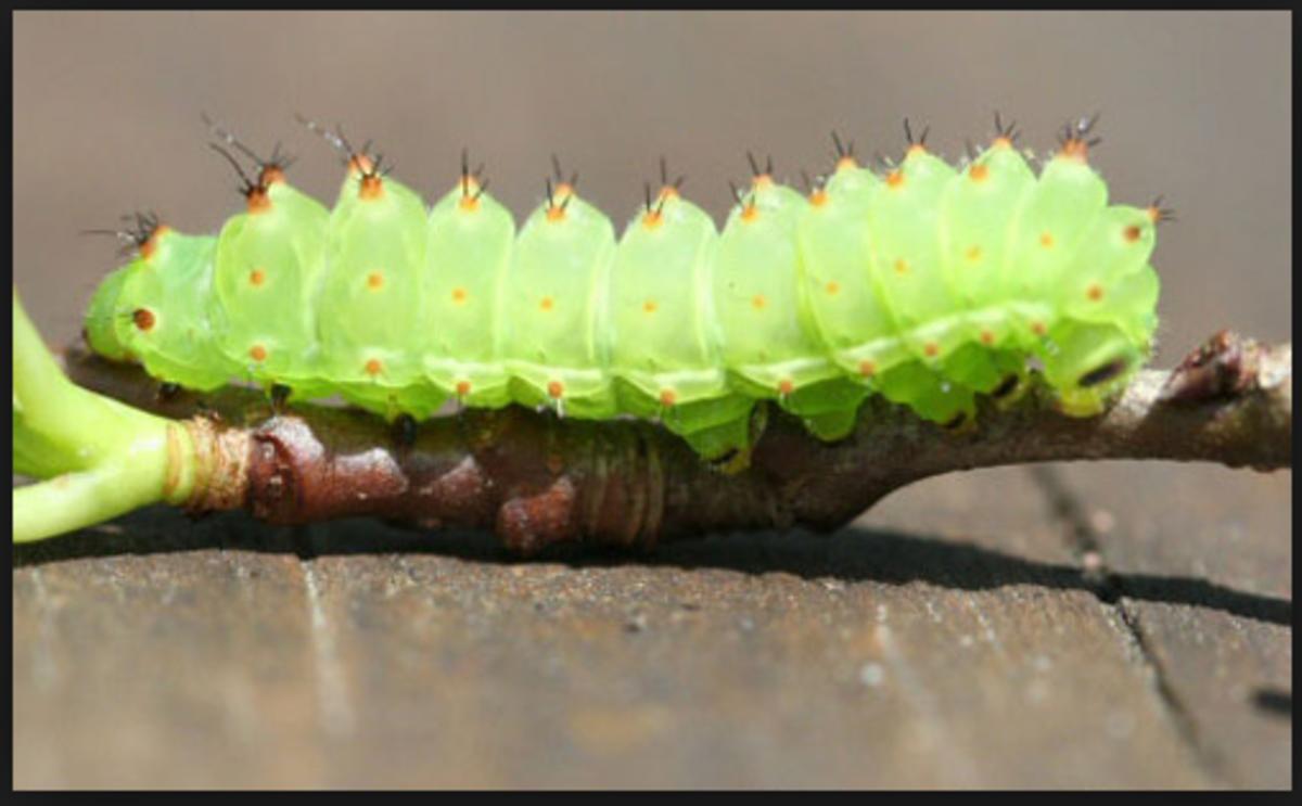 A luna moth caterpillar.