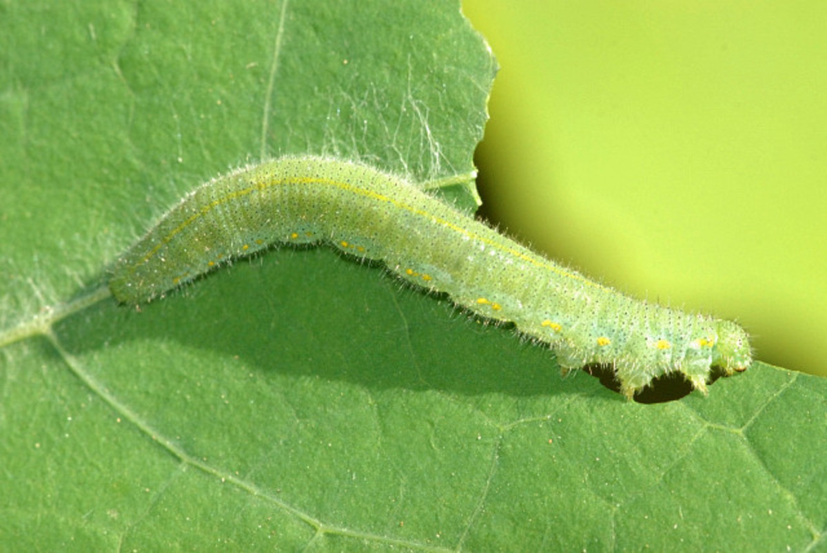 A cabbage white caterpillar.