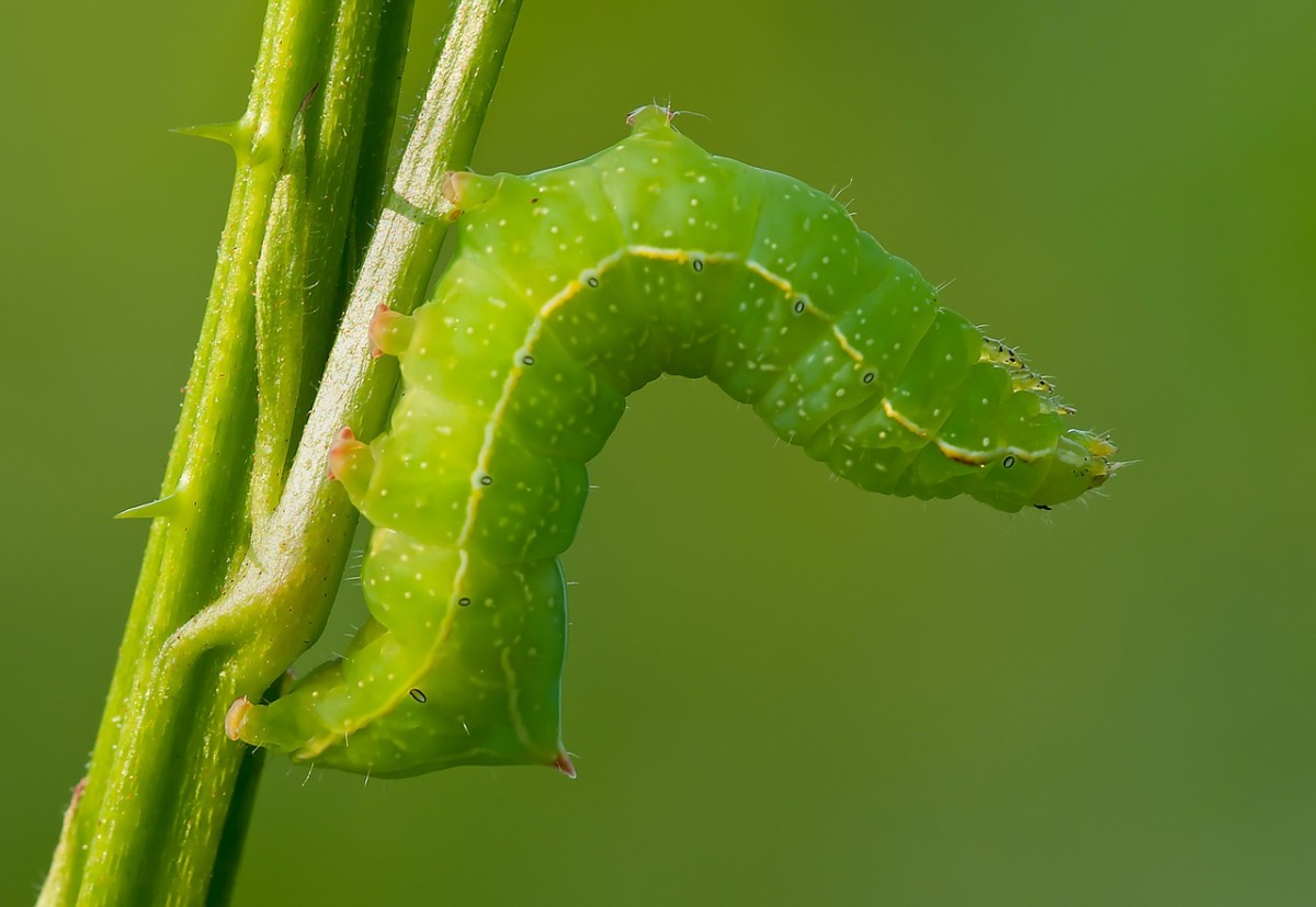 Identification Guide For 16 Common Green Caterpillars Owlcation