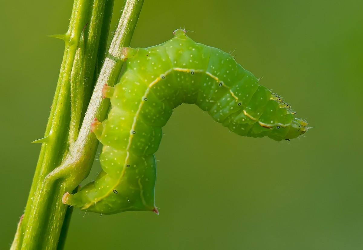 A copper underwing caterpillar.