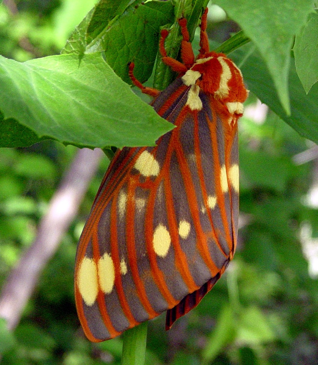 A royal or regal moth.