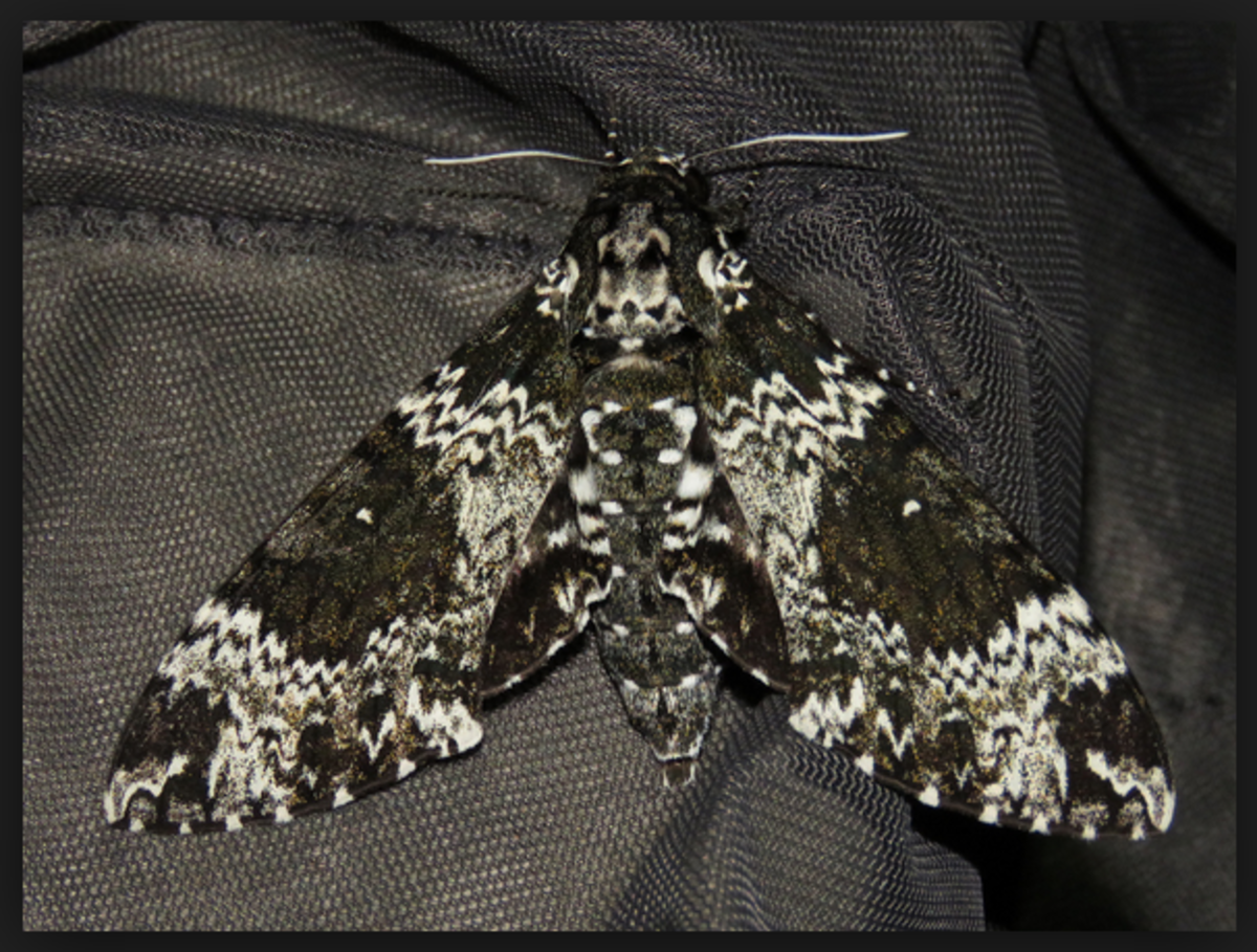 A Rustic Sphinx moth.