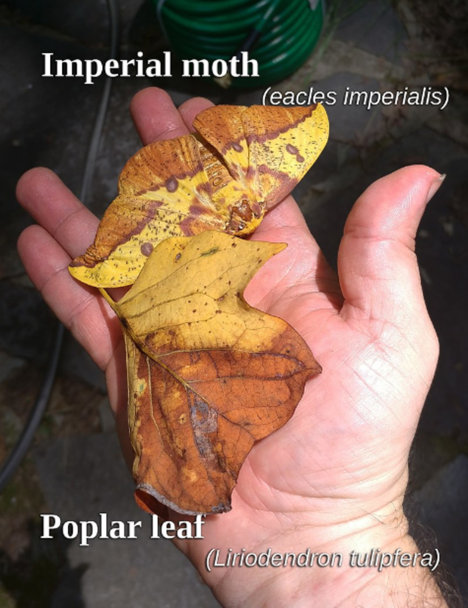 The imperial moth's amazing, leaf-like camouflage.