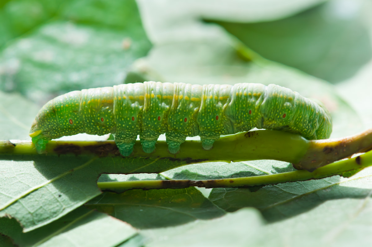 green-caterpillar-identification
