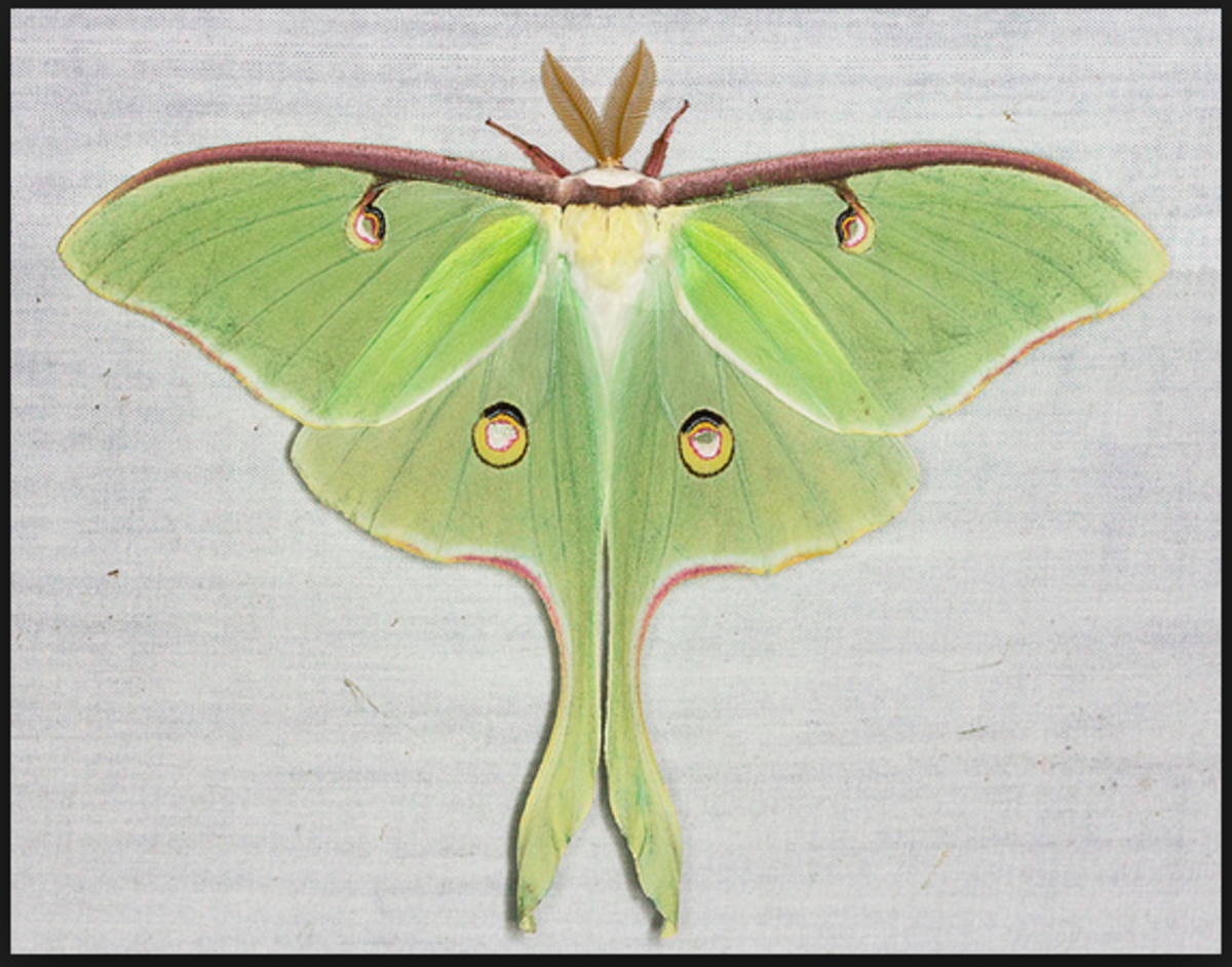A female luna moth.