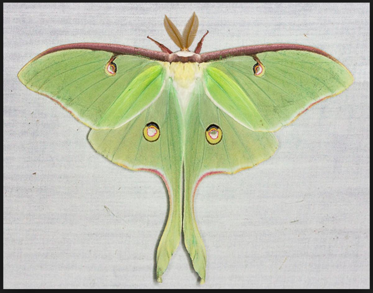 A female luna moth.