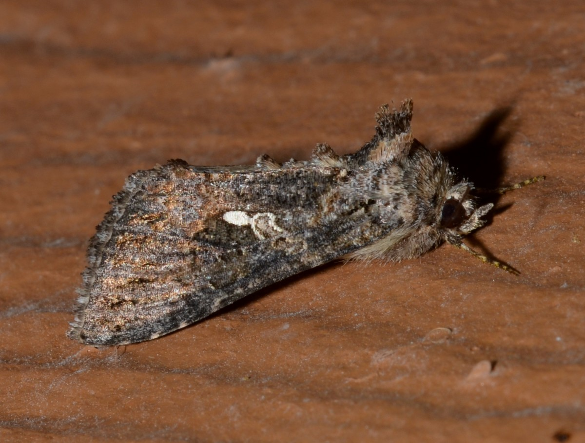An adult cabbage looper moth.