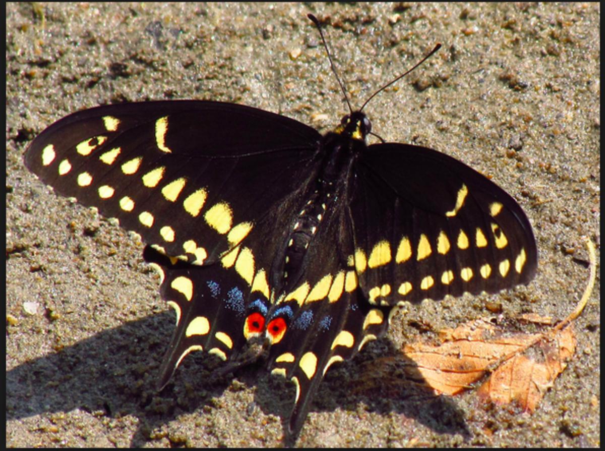 A black swallowtail butterfly.