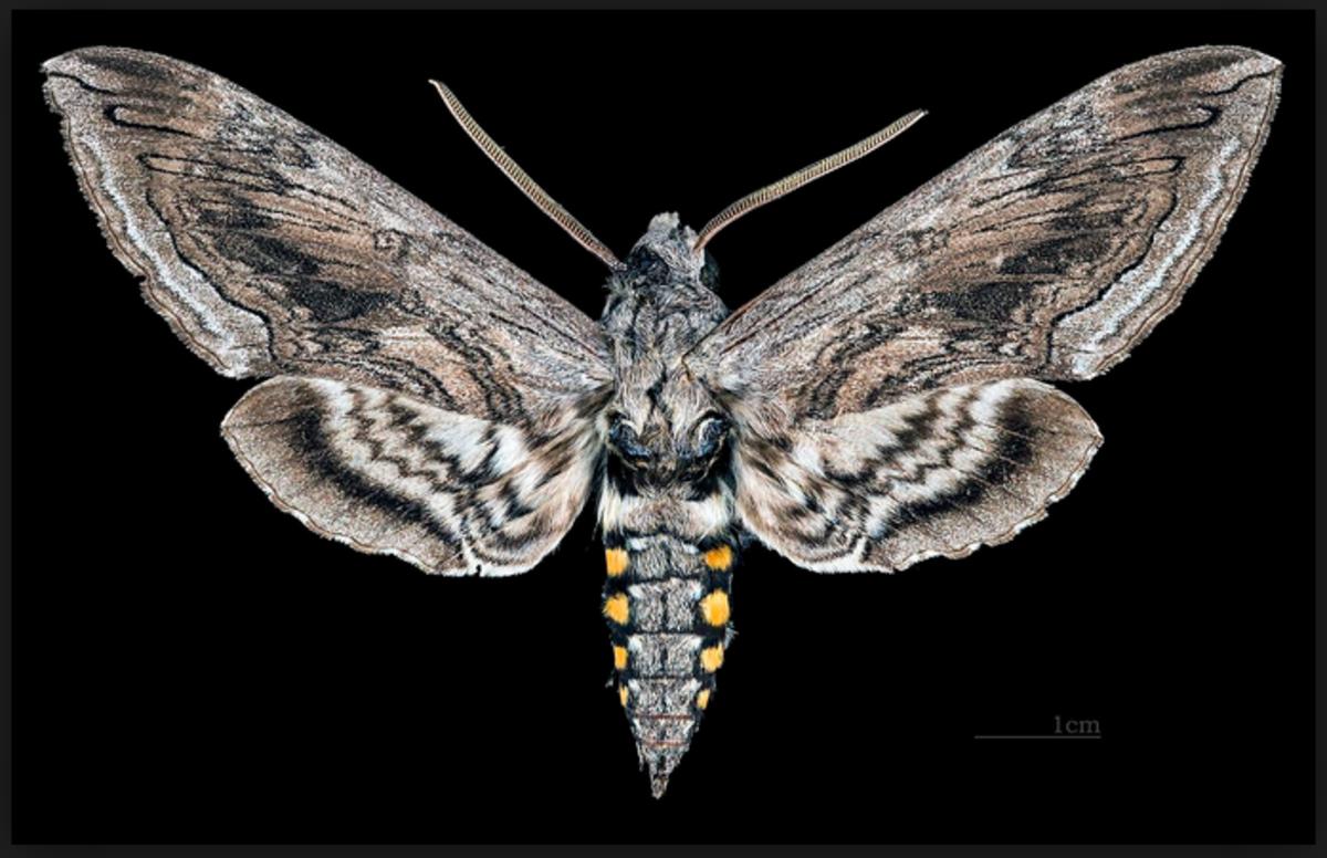 A tomato hornworm moth.