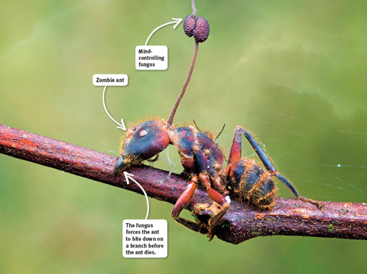 Ants that are infected with the Ophiocordyceps unilateralis sensu lato fungus are directed in the late stages of the growth of the parasite to bite down on a leaf or limb, which ends with the death of the host.