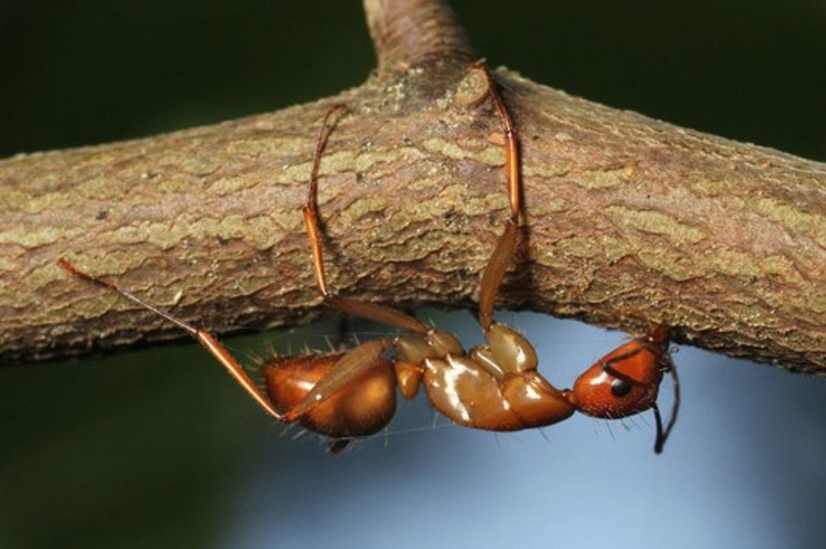 This photo shows an infected ant biting down on a twig prior to the emergence of the Ophiocordyceps unilateralis sensu lato fungus stalk at the back of its head.