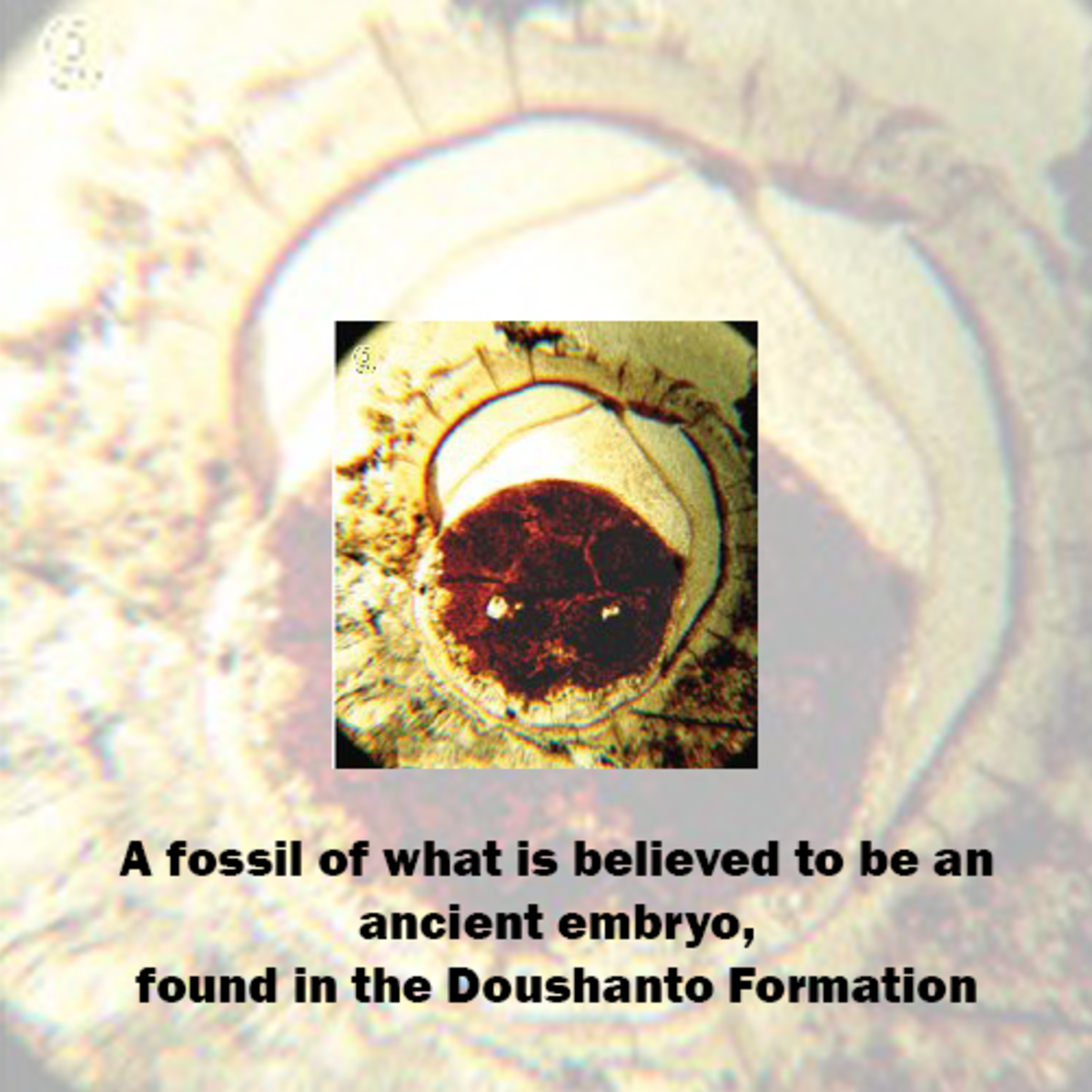 Ancient embryo found in the Doushanto Formation.