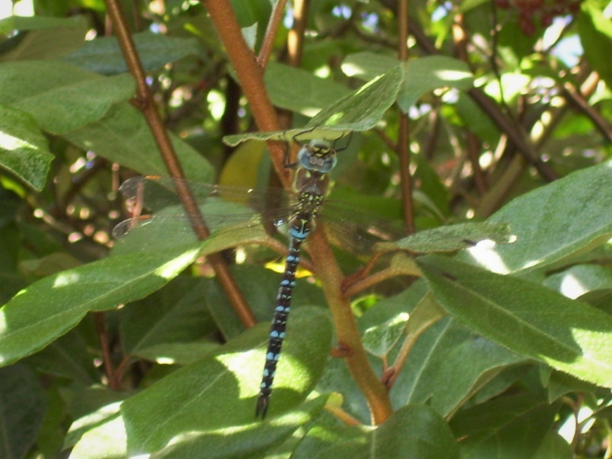 Dragonfly in Hedge