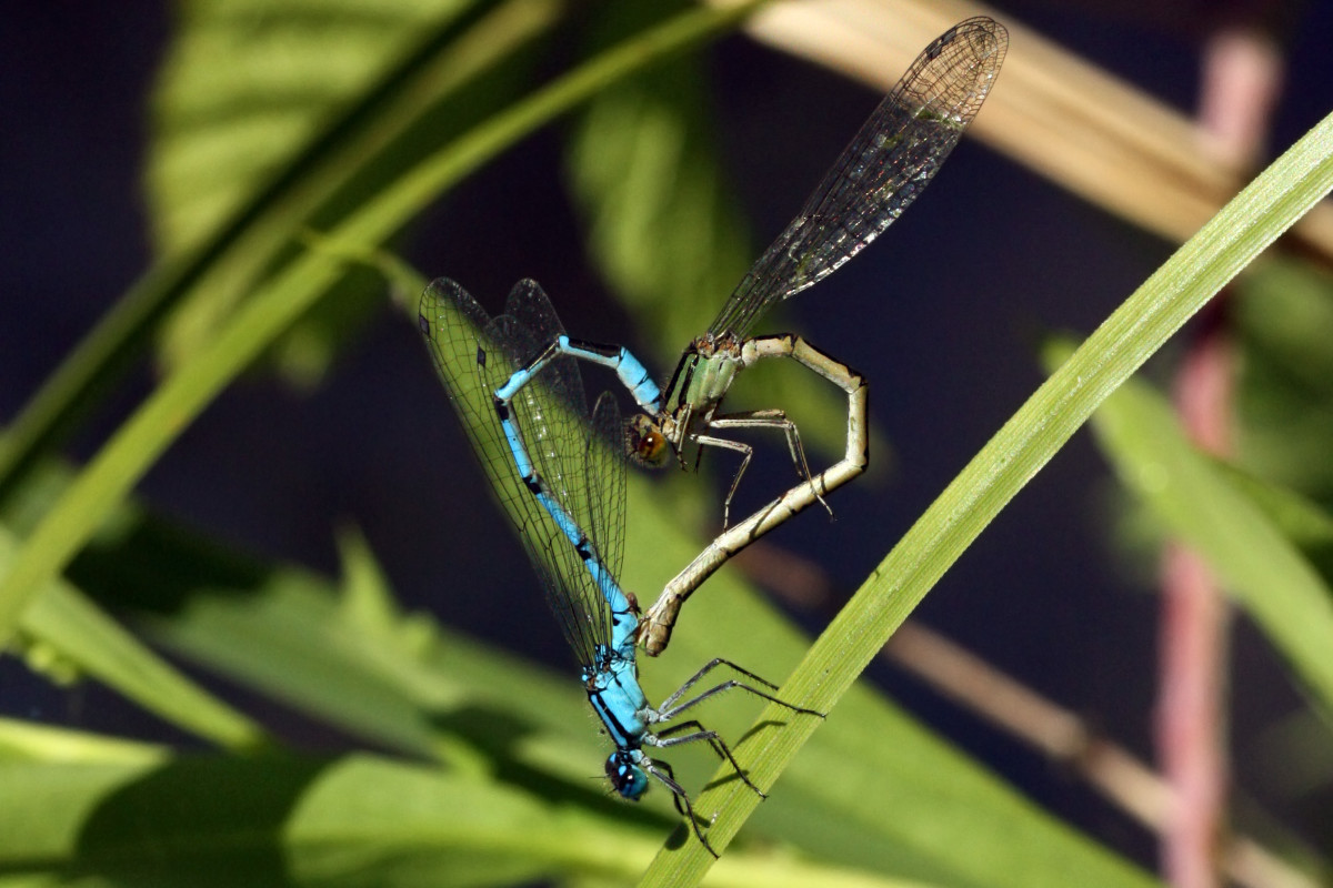 Common Blue Damselflies Form Mating Wheel