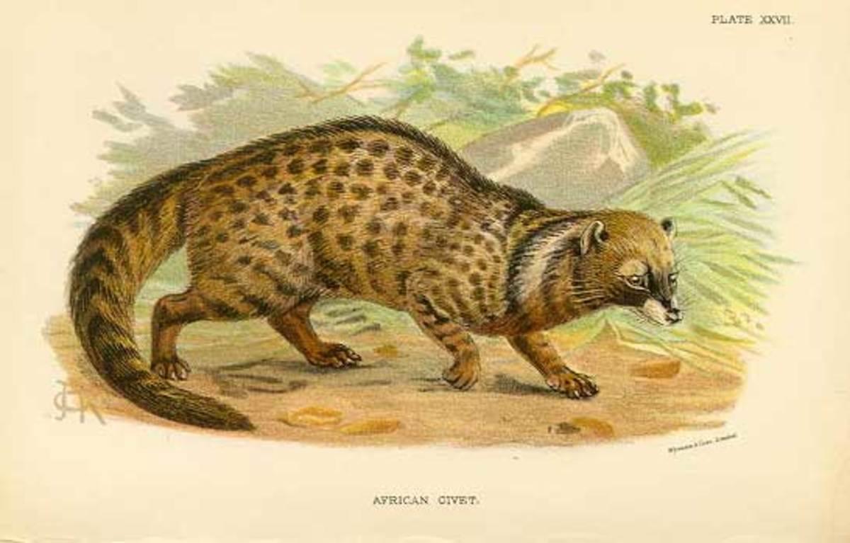A nineteenth-century illustration of the civet