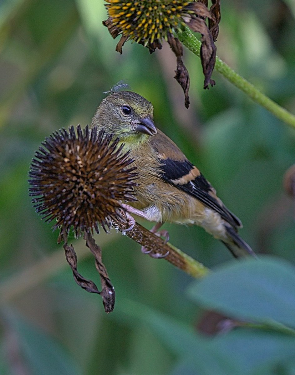 This female goldfinch will need help this winter, so why not feed her some of the things she loves to eat.