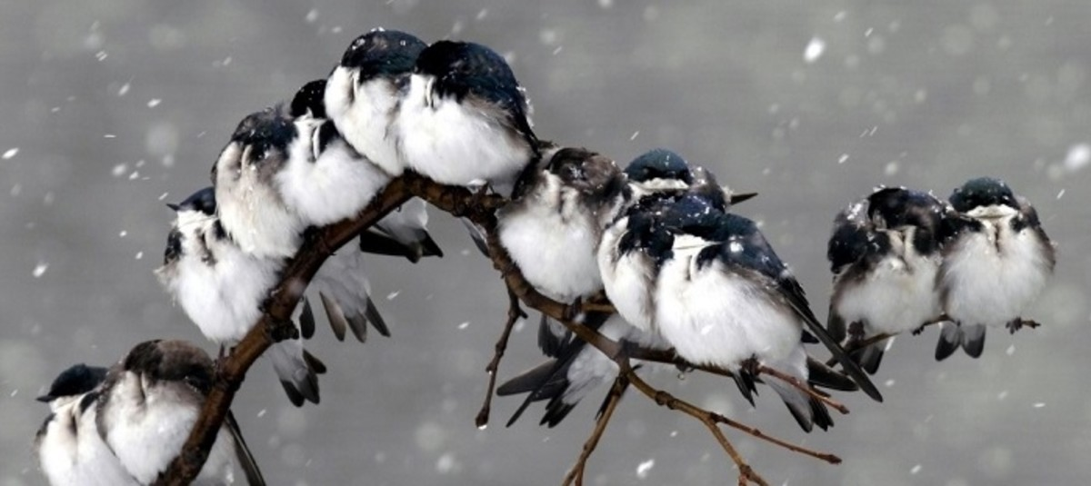 Chickadees huddle together for warmth during a cold, Ozark winter.