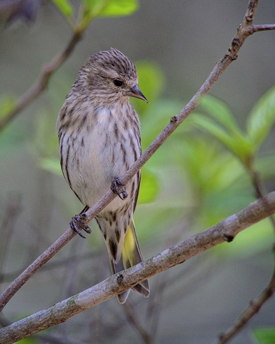 Pine siskins don't migrate and are beautiful birds that need food, water and shelter during the winter months.  If you provide those things, you could be seeing them in your yard.