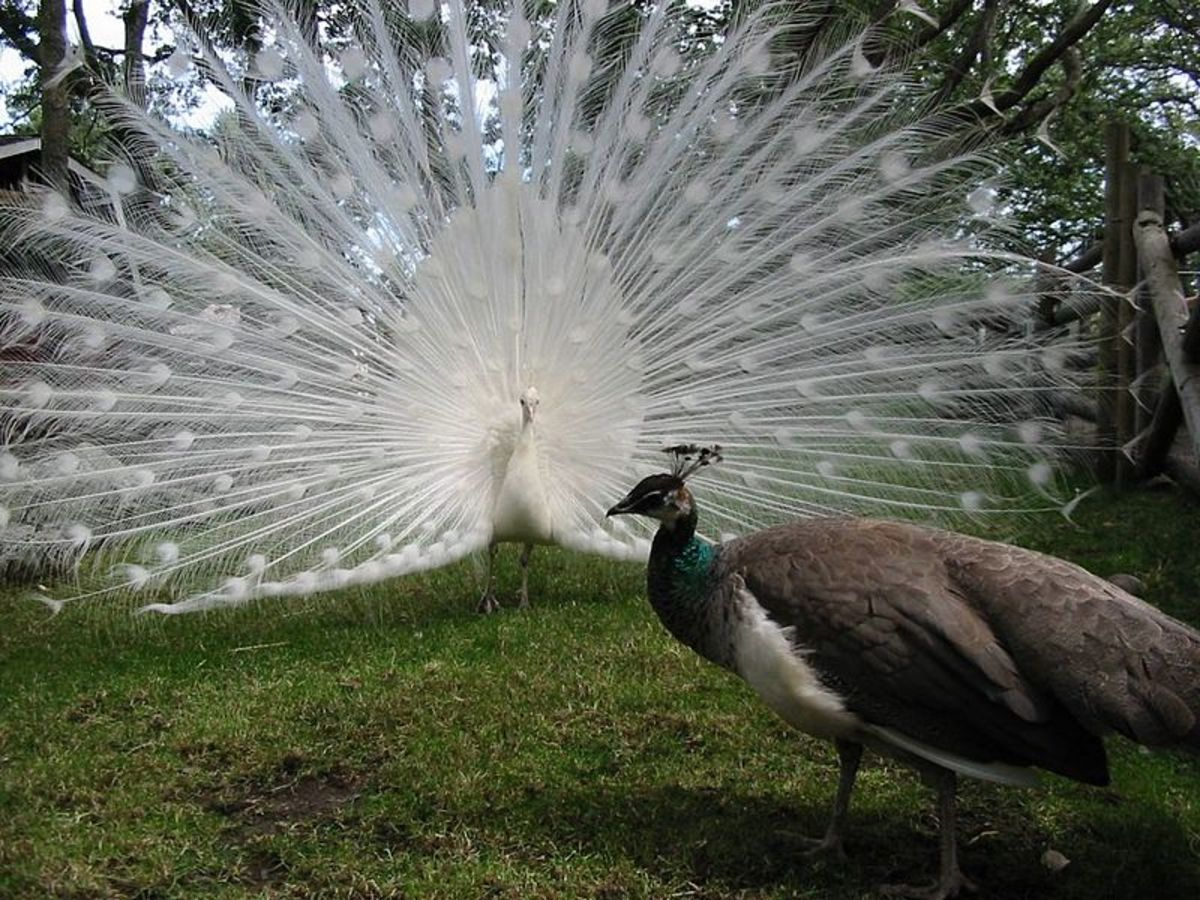 A Peacock will fan out it train, and females will choose the Peacock that is the most impressive. Peacocks will choose a partner and remain faithful.