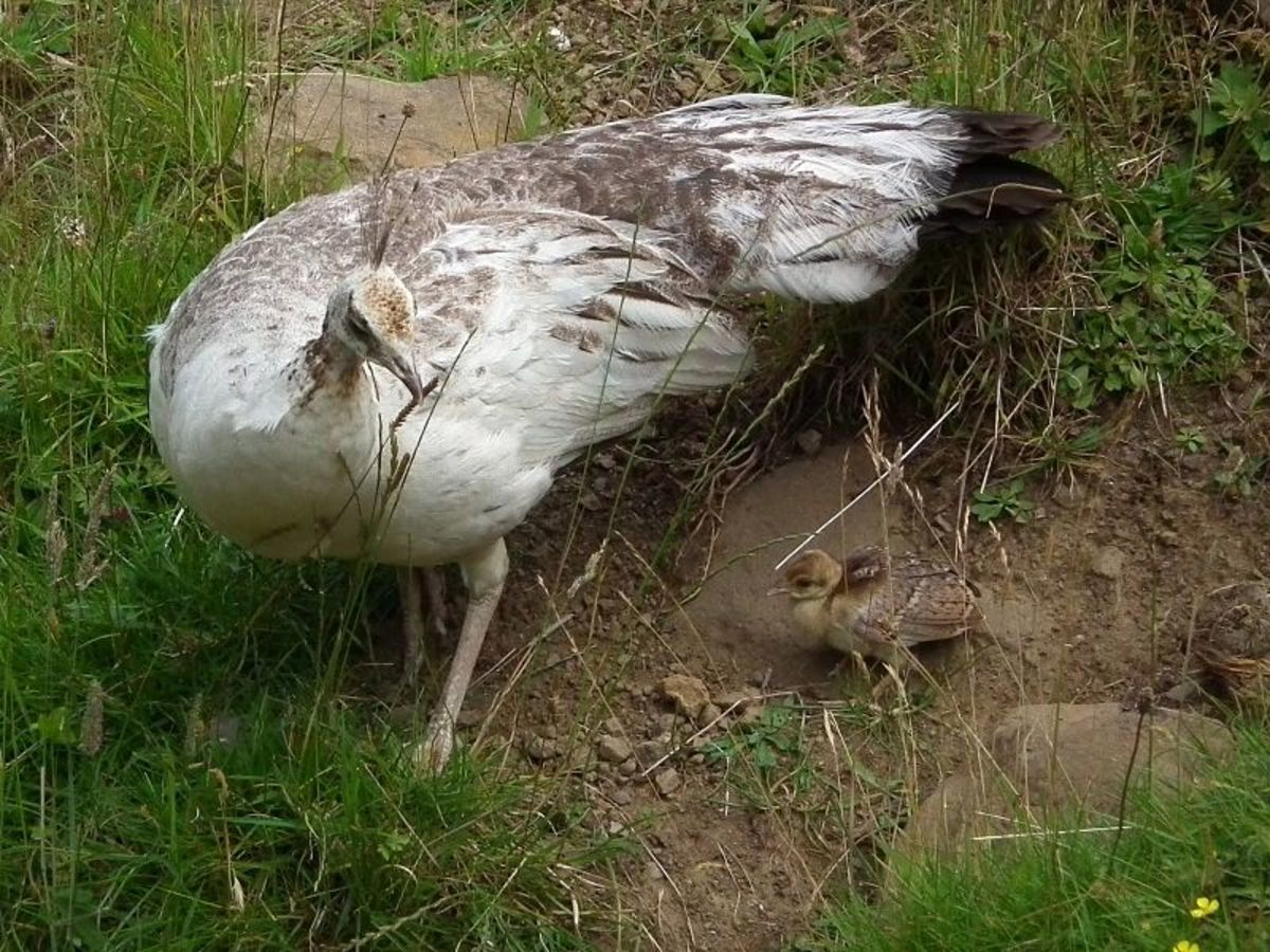Peachicks can fly short distances three days after hatching.