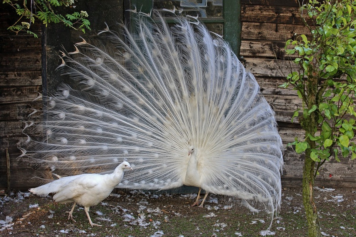 A white Peacock dances to impress a white Peahen.