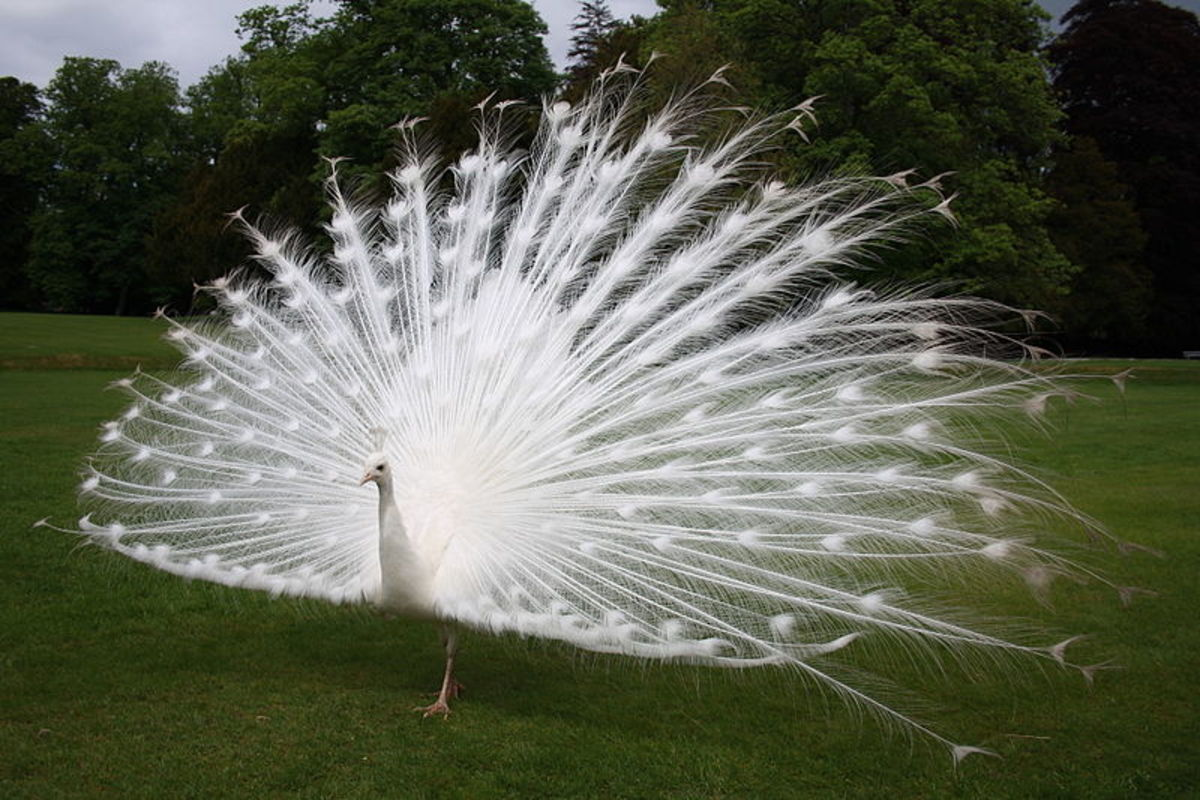The impressive white train of a peacock is a white version of their colorful counterpart.