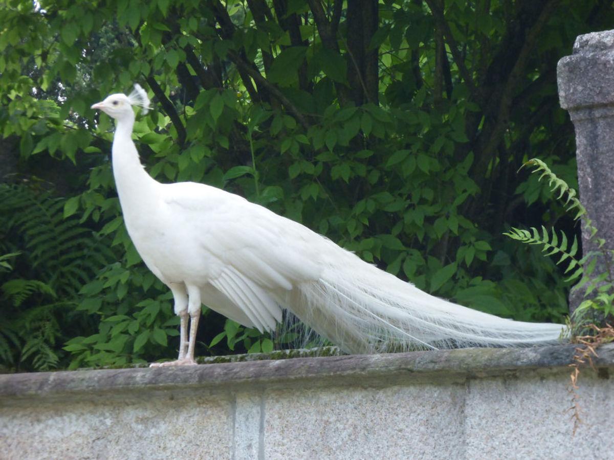 Peacocks originated in, and around India and Ceylon.