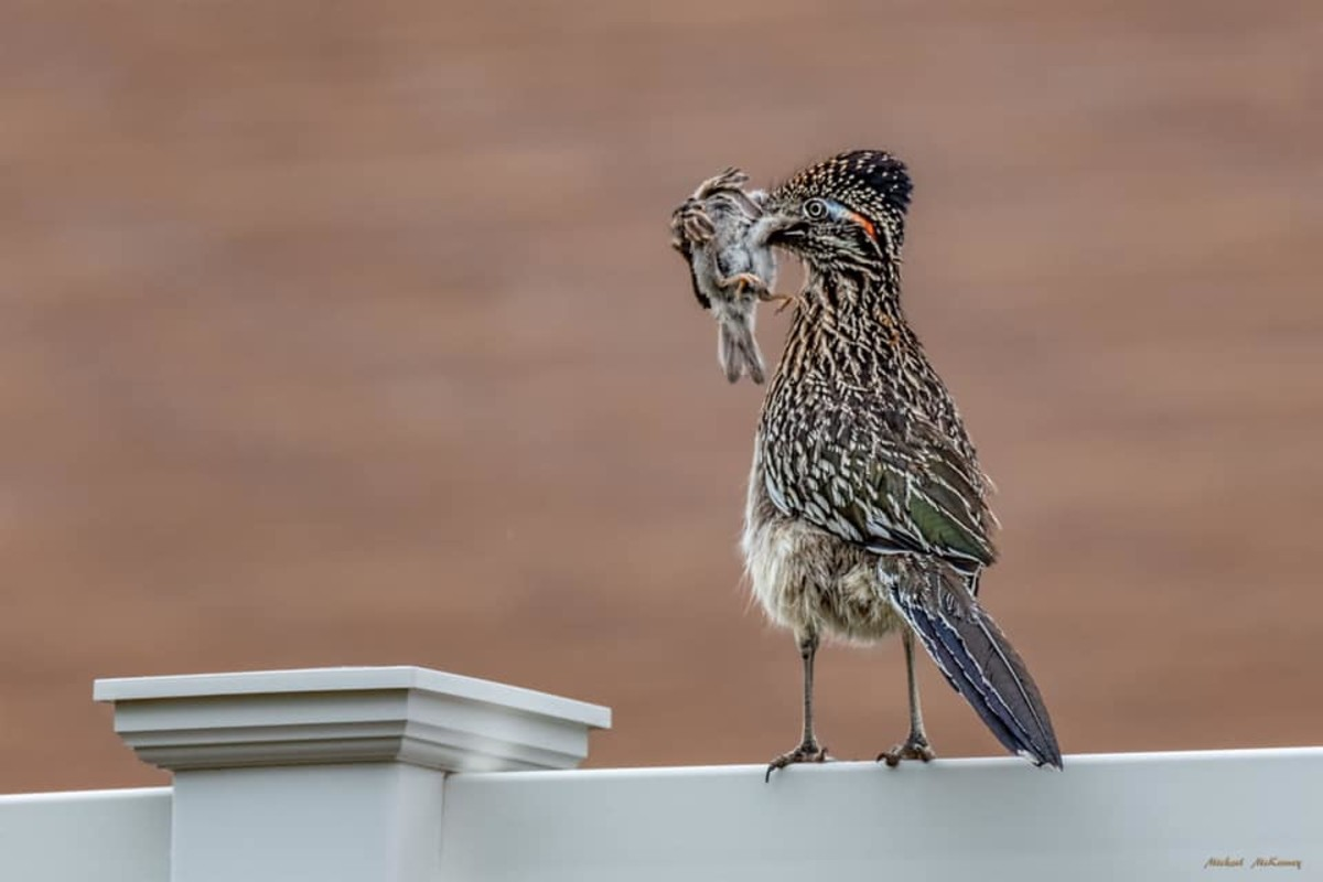 A roadrunner just does what comes naturally to him, although it is hard to watch when one flies up into a tree and grabs one of your precious backyard birds and beats it on the ground until it is lifeless, then plucks each feather and eats it whole.