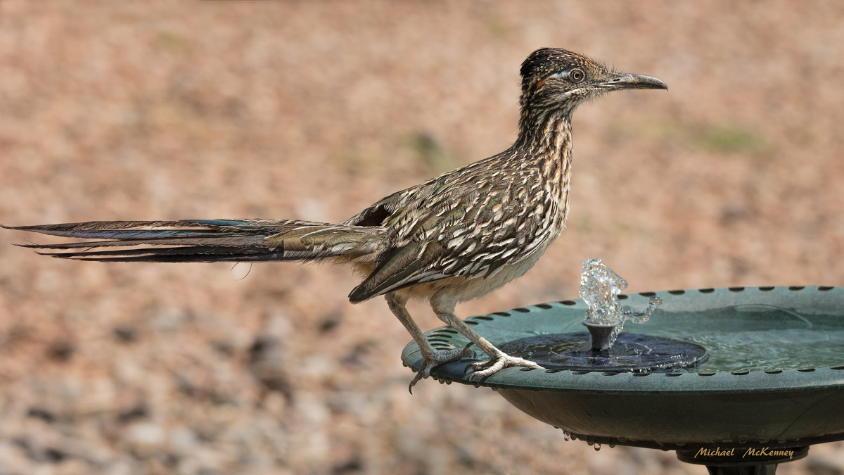 Our daily visiting roadrunner stopped at our birdbath for a cool drink of water although    it can survive without it as long as it consumes prey with high water content. Roadrunners have glands near their eyes used to secrete excess salt.