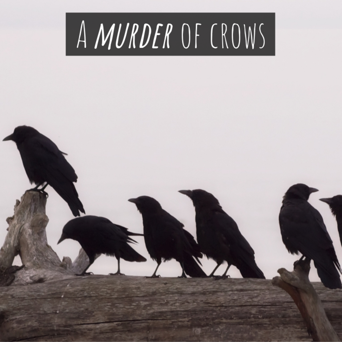 "A group of crows is referred to as ""a murder."""