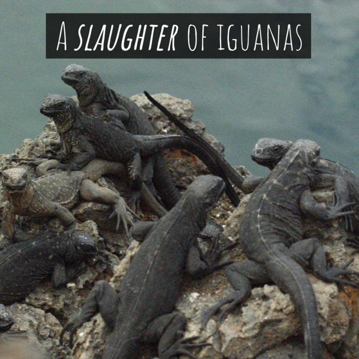 "A group of iguanas is referred to as ""a slaughter."""
