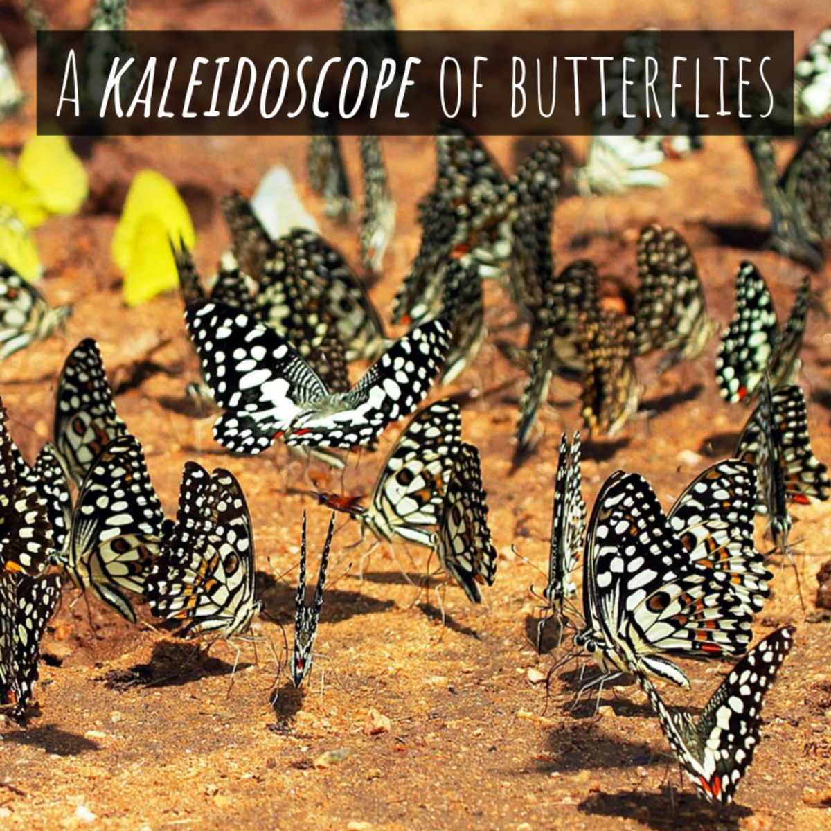 "A group of butterflies is referred to as ""a kaleidoscope."""