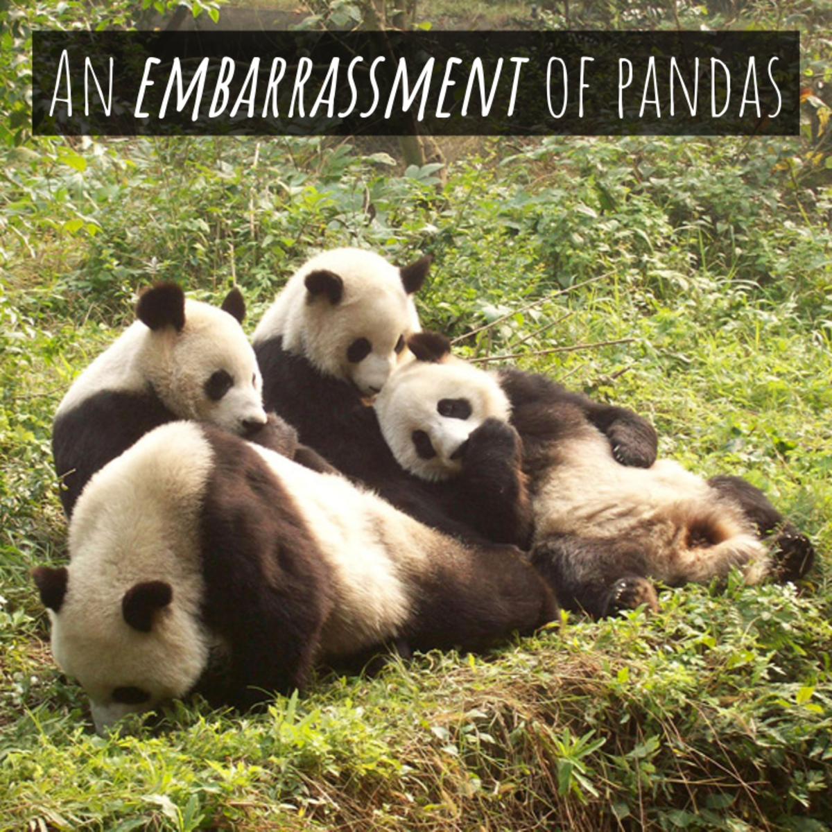 "A group of pandas is referred to as ""an embarrassment."""